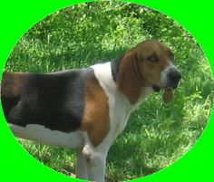 Treeing Walker Coonhounds from White Deer Kennel