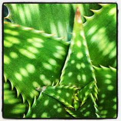 Aloe plant, Capitola, 6.5.12 (also part of #gsom campaign)