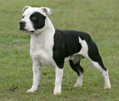 Staffordshire Bull Terrier - With the tenacity of the Old English Bulldog and the fire of the terrier, the original Bull and Terrier was bred in Britain as a pit fighter, a job at which the dogs excelled for more than 175 years.