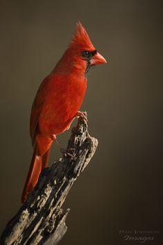 ~~Northern Cardinal