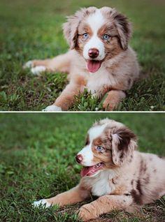 Baby Henry - Miniature Australian Shepherd/ American Shepherd | Brenna Gentry - Online Photoshop Mentoring + Portraiture #puppy #dog #miniaussie #redmerle #blueeyes