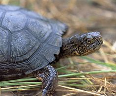 """Eastern Box Turtle was designated as the official state reptile of North Carolina in 1979.The eastern box turtle is found along the entire east coast of the U.S. and inland as far as Michigan, Kansas, and Texas. The name was inspired by the box turtle's ability to retract its head and legs into its shell and clamp it shut, creating a protective """"box.""""Eastern box turtles are omnivorous, . Eastern box turtles can live to be over 100 years old (40 - 60 years is the average lifespan in the wild)"""