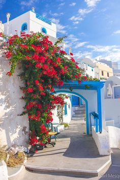 Bougainvillea in Santorini, Greece
