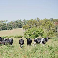 Cow spotting in Hahei, Coromandel  #jelphotography #aucklandphotographer alternative wedding photographer
