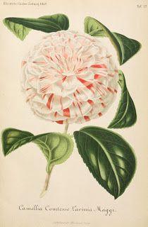 Vintage Ephemera: Botanical Plate, Camellia, 1862