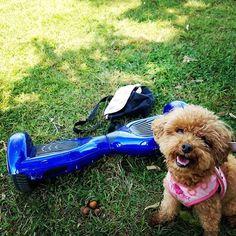 #トイプードル #おさんぽ #公園 #バランススクーター #どんぐり #秋 #愛犬 #家族 #癒し #運動 #いぬ #ペット  #poodle #walk #park #balance scooter #acorn #autumn #pet dog #family #healing #exercise ?#dog #japan