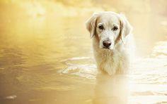 beautiful golden retriever