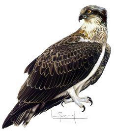 águila pescadora Bald Eagle, Bird, Animals, Illustrations, Drawings, Animales, Animaux, Birds, Animal