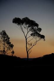 gum trees in silhouette - Google Search