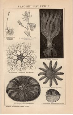 1895 Echinoderms Antique Print Marine Animals by Craftissimo