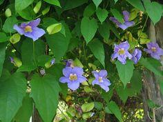 caracteristicas-y-cultivo-de-la-tumbergia-azul-03