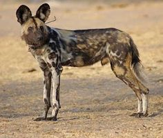 The Trade in Painted Dogs (African Wild dogs). A very interesting video about how an illegal trade was discovered when the Painted Dog Conservation project in Zimbabwe was asked to relocate a pack of dogs from a reserve in South Africa.