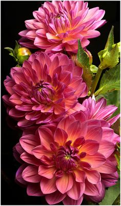 Dahlias on Flickr