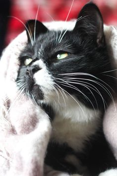 I'm running a 15k race for Cats Protection - support the cause! supporting cat charity fundraising black and white tuxedo cat cute cosy adorable kitten Cityscape Bliss // Naughty Felines