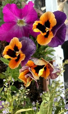 Pansy's