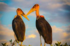 Marabou stork, Moremi Game Reserve. Photo by Marie-Soleil Le Houillier