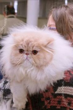 OMG! It is the fluffiest Floof I've ever seen!  Persian!