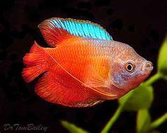 flame gourami fish   Flame Gourami ( Colisa lalia )