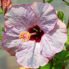 Hibiscus 'Lilac Wine'                                                                                                                                                                                 More