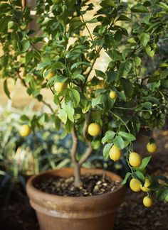 How to Grow a Beautiful Meyer Lemon Tree In a Pot