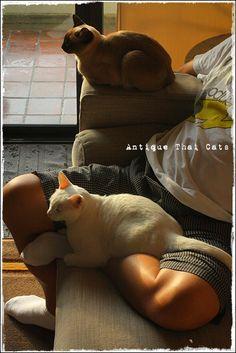 猫 カオマニー オッドアイ cat khaomanee oddeyes แมว ไทย ขาวมณี シャム タイ 原種 Siamese Thailand วิเชียรมาศ