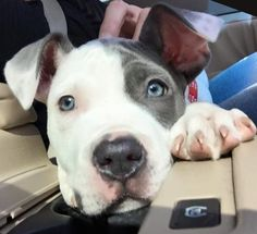 Jada is available for adoption at mprgroup.net! MISSOURI PIT BULL RESCUE