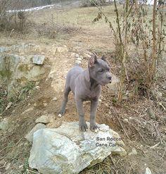 san rocco cane corso pup #bluecanecorsopuppy Blue Cane Corso Puppies, Cane Corso Dog, Cane Corso Breeders, Wordpress Gallery, San Rocco, Puppies For Sale, Dogs, Animals, Valentino