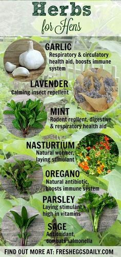 Herbs for your chickens