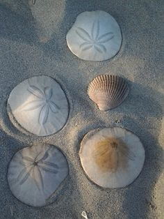 Love walking along and finding Sand Dollars!