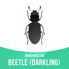 Darkling beetles inhabit fields and wooded areas. Many species live in close proximity to humans, in the parks, gardens, barns and other man-made objects that provide enough food. Darkling beetles are classified as pest of grains and other stored products in most countries in the world.  #english #englishlanguage #learnenglish #studyenglish #language #vocabulary #dictionary #englishlearning #vocab #animals #darklingbeetles #beetles #beetle