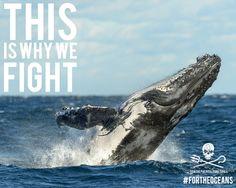 Breaching humpback whale off the Australian coast. #SeaShepherd