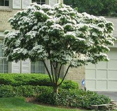 Chinese dogwood tree