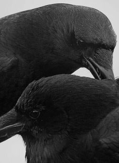 There is wisdom in the Raven's head.