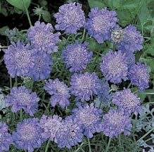 Nectar plant for a butterfly garden - Scabiosa columbaria 'Butterfly Blue' -- Pincushion Flower - hardy zones - Height Scabiosa Columbaria, Front Flower Beds, Butterfly Bush, Blue Butterfly, Backyard Renovations, Plant Covers, Plant Catalogs, Sun Perennials, Free Plants