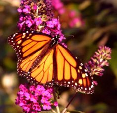 Butterfly coloring pages are favorites of children and adults who love nature. I adore butterflies; I photograph moths and butterflies that visit...