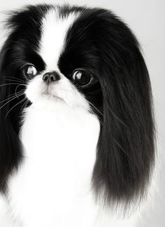 Fabel-Mi Japanese Chin ~ Beauty Without CompromiseAm/Can CH. Beautiful Dog Breeds, Beautiful Dogs, Animals Beautiful, Cute Animals, Japanese Chin Puppies, Asian Dogs, Japanese Animals, Pekingese Dogs, Dog Rules