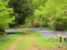 Bowood Rhododendron Gardens in Bluebell Time-Caine, England