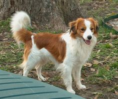 Kooiker Hound (KOOIKERHONDJE)Cheerful, good natured, friendly, quiet, well-behaved, and alert; those are terms that are used to describe him. He is kind, happy and lively. They are also intelligent, attentive and more than willing to please their owner. He adapts to situations rather quickly, changing his behavior from quiet to lively. He will not always immediately like strangers, but once he warms up to someone, the trust will be there for the rest of his life.
