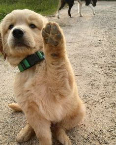 """Learn more relevant information on """"golden retriever puppy"""". Animals And Pets, Baby Animals, Funny Animals, Cute Animals, Animals Images, Funny Cats, Cute Puppies, Cute Dogs, Dogs And Puppies"""