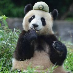 What a cheeky panda! Animals And Pets, Baby Animals, Funny Animals, Cute Animals, Panda Love, Cute Panda, Panda's Dream, Panda Images, Cute Hats