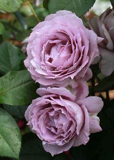 Treloar Roses - NOVALIS*