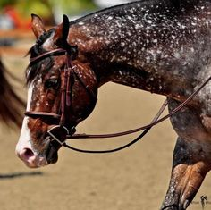 Appaloosa. Will have to look tis color/pattern up....