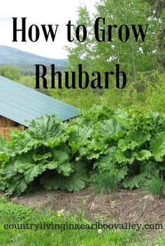How to Grow Rhubarb Plant it once in a Northern Garden and it will come back every year. Rhubarb is great for jams or fruit crisps and healthy too! The post How to Grow Rhubarb appeared first on Garden Diy. Organic Vegetables, Growing Vegetables, Growing Plants, Vegetables Garden, Growing Tomatoes, Fruit Garden, Edible Garden, Garden Plants, Growing Rhubarb