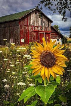 "Weathered Red Barn / The perfect background for ""Queen Anne's Lace and Sunflowers'."
