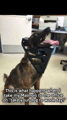 Lmao this would be Stryker Military Working Dogs, Military Dogs, Police Dogs, Funny Police, Police Humor, Belgium Malinois, Belgian Malinois Dog, Belgian Malamute, Funny Dog Memes