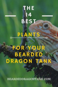 14 Awesome Bearded Dragon Plants You Can Use For Your Tank! - 14 Awesome Bearded Dragon Plants You Can Use For Your Tank! Bearded Dragon Vivarium, Bearded Dragon Enclosure, Bearded Dragon Terrarium, Bearded Dragon Habitat, Bearded Dragon Funny, Bearded Dragon Diet, Lizard Terrarium, Bearded Dragon Cage Ideas, Reptiles