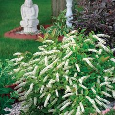 Buy Itea Little Henry Shrubs Online. Garden Crossings Online Garden Center offers a large selection of Sweetspire Plants. Shop our Online Shrub catalog today!