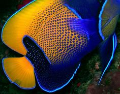 Forms and colors (Blue - girdled Angelfish)