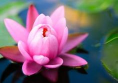 lily flower water