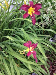 My day lilies!